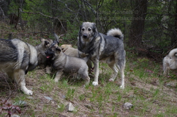 Takoda and 4 Generations of Working Elkhounds