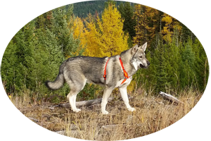 Aina Jamthund Swedish Elkhound Female