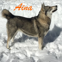 Aina Swedish Elkhound Images
