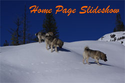 Home Page Slide Show of Norwegian Elkhounds