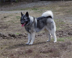 Syn, Norwegian Elkhound Female