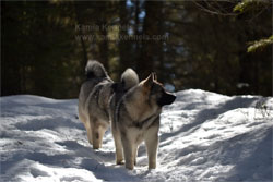 Kai Norwegian Elkhound Female early hiking