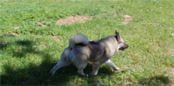 Leif Young Norwegian Elkhound Male