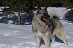 Leif Norwegian Elkhound Male Sire