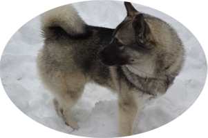 Leif Male Norwegian Elkhound