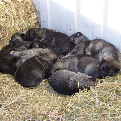 elkhound puppies for sale