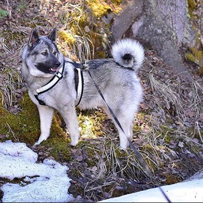 elkhound photo gallery