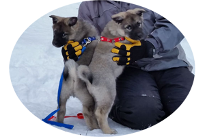 Mane and Luna Elkhound Siblings