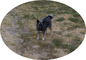 Phoenix Norwegian Elkhound Female