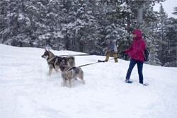 Jamthund and Norrland Dogs With Beth