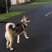 Swedish Elkhound Male