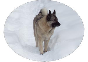 GAEDA Female Elkhound