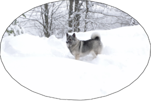 Kai Female Elkhound