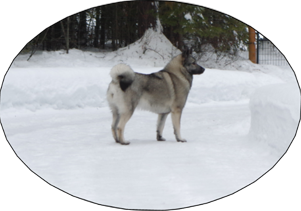 Kalia - Elkhound Female