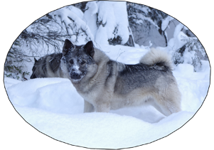 Kamp Female Elkhound