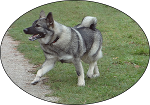 jaegar elkhound dog