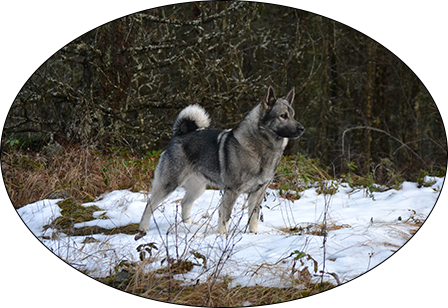 norwegian elkhounds watch dog