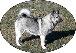tora elkhound dog