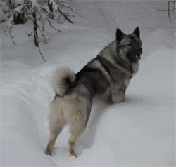 MANE Norwegian Elkhound Stud Male