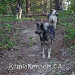 Takoda Elkhound Sire - Kamia Kennels 10 Years