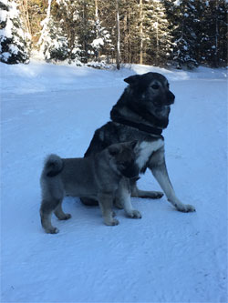 Takoda 9 Years Old Elkhound Male With Son Ripley