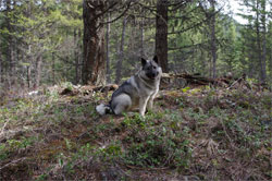 Tekla Norwegian Elkhound April 8th 2017