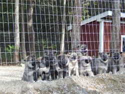 Tika as a young pup with her siblings
