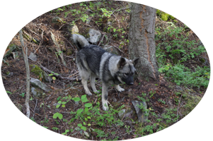 Vida Ancient Lineage Female Elkhound