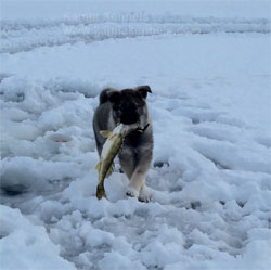 Vuk Norwegian Elkhound Ice Fishing