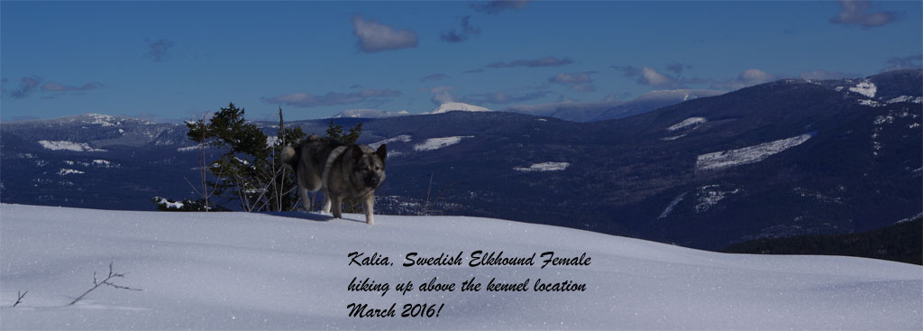 Kalia Swedish Elkhound Female
