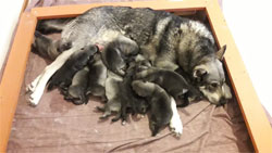 Citi Jamthund Female with 11 Pups