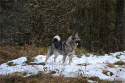 Jaegar Norwegian Elkhound Stud Dog