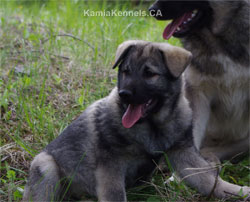 Moki True Golden Ring Heritage Elkhound