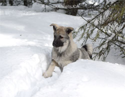 Desna True Golden Ring Heritage Elkhound