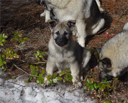Havoc True Golden Ring Heritage Elkhound