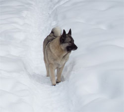 GAEDA Norwegian Elkhound Female