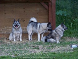 elkhound dogs