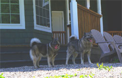 Jaegar Male Elkhound