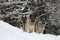 Norwegian Elkhound Females - Kamp, Tekla and Tuva