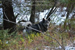 Takoda Elkhound Male Territorial