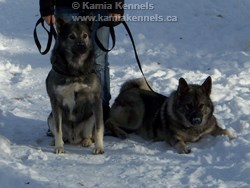 Takoda and Jaegar Elkhound Studs