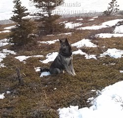 Takoda Growth of An Elkhound
