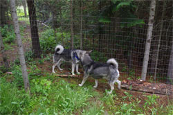 Swedish Elkhound Males, Takoda and Rico