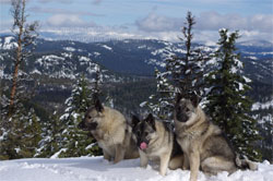 Norwegian Elkhound Females Tekla and Tuva