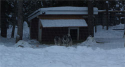 Norwegian Elkhound Female Tuva and Leif Male Elkhound