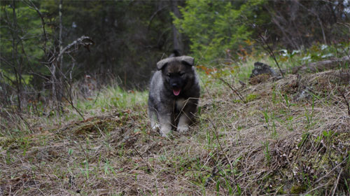 Ancient Elkhound Female Puppy