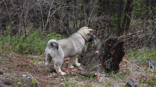 Working Elkhound Female Pup