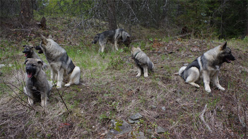 5 Litters of Norwegian Elkhounds