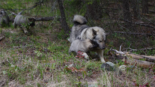 Ancient Elkhound Female and Pup