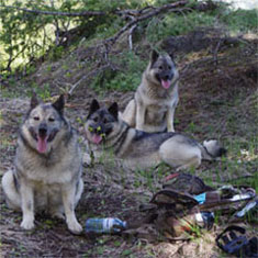 3 Female Elkhounds